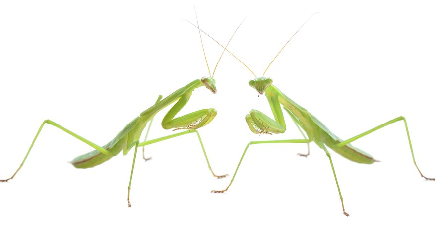 2 Praying Mantis.