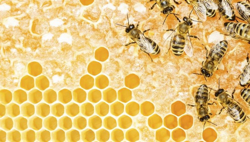 Captura una abeja reina.