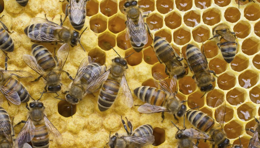 Honey bees converting nectar into honey.