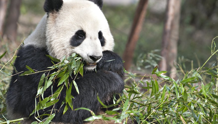 A giant panda eats bamboo leaves.