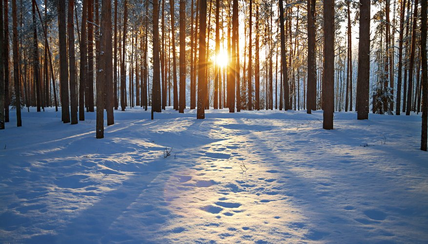 Winter forest with sun setting through trees