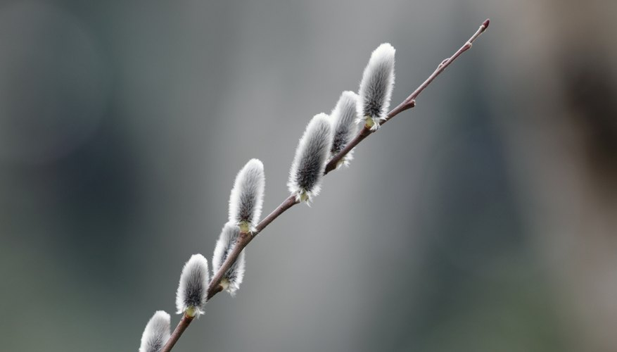 A close-up of a pussy willow branch.