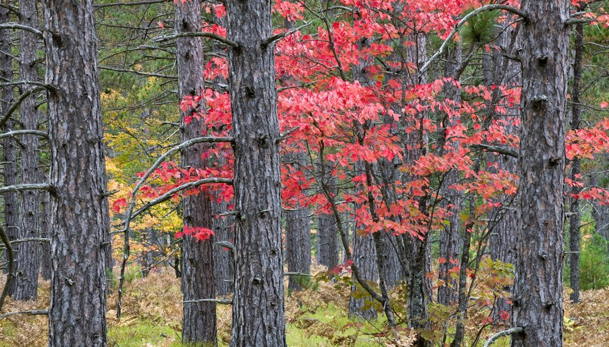 trunks of red maple trees