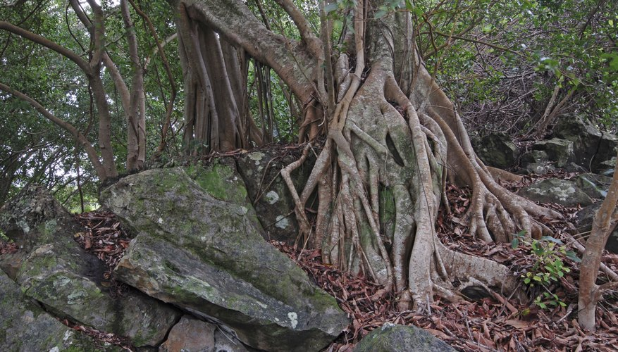 Strangler figs use existing trees to reach the upper canopy.