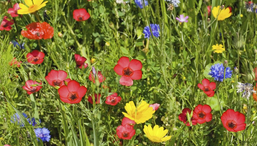 Plant cornflowers with red poppies (Papaver rhoeas) for a striking contrast.