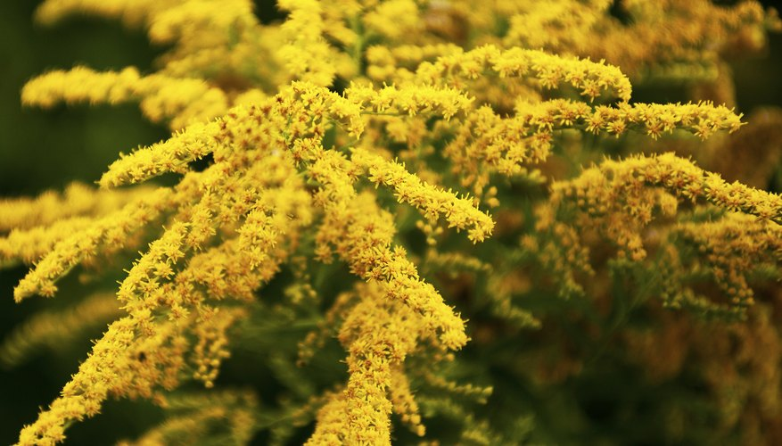 Goldenrod in full bloom