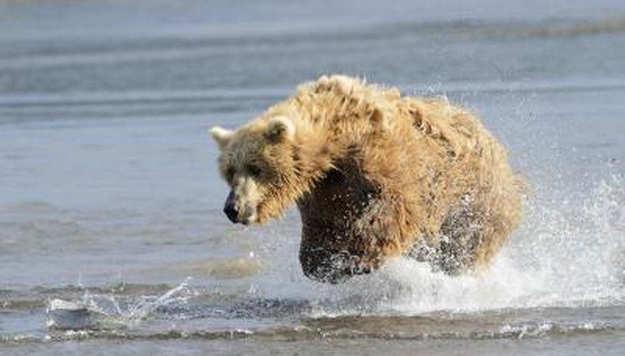 Un oso grizzly persigue un pez en el agua.