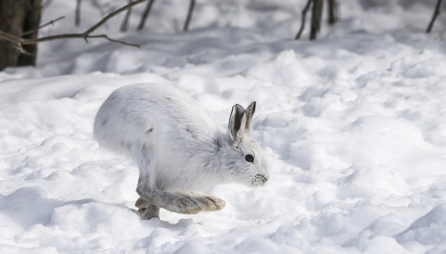 A white snowshoe hare hopping over the snow.