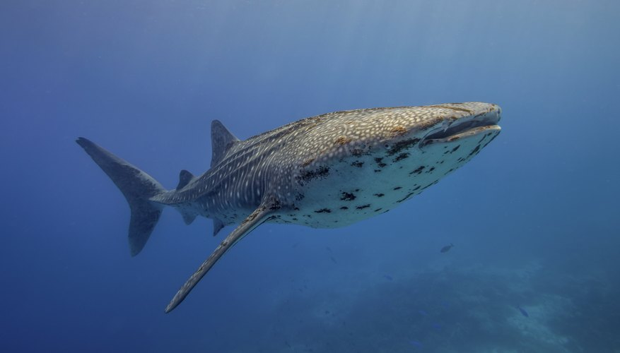 A whale shark swims underwater in a blue ocean.