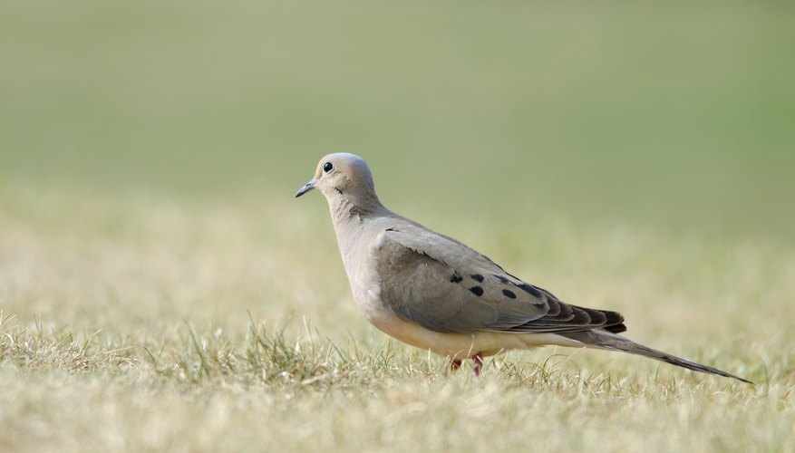 Mourning doves forage on the ground for seeds.