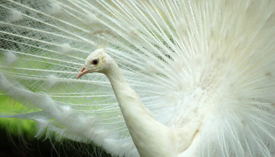 A white peacock spreads its tail feathers.
