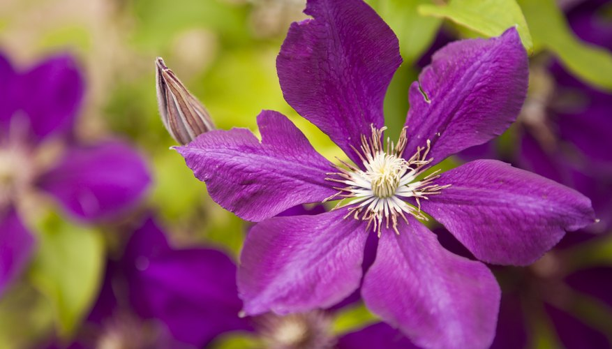 Purple clematis flowers.