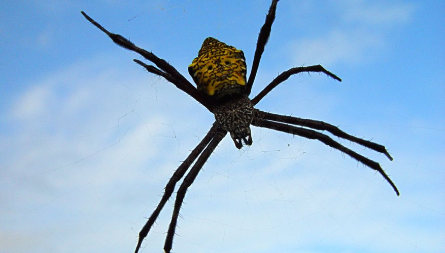 poisonous spiders   northeast sciencing