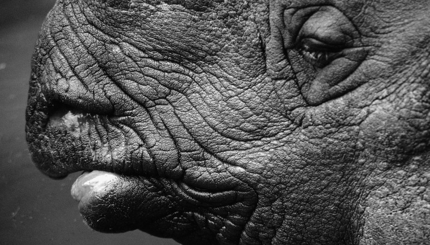 Rhinoceros skin looks tough, but it's actually quite sensitive.