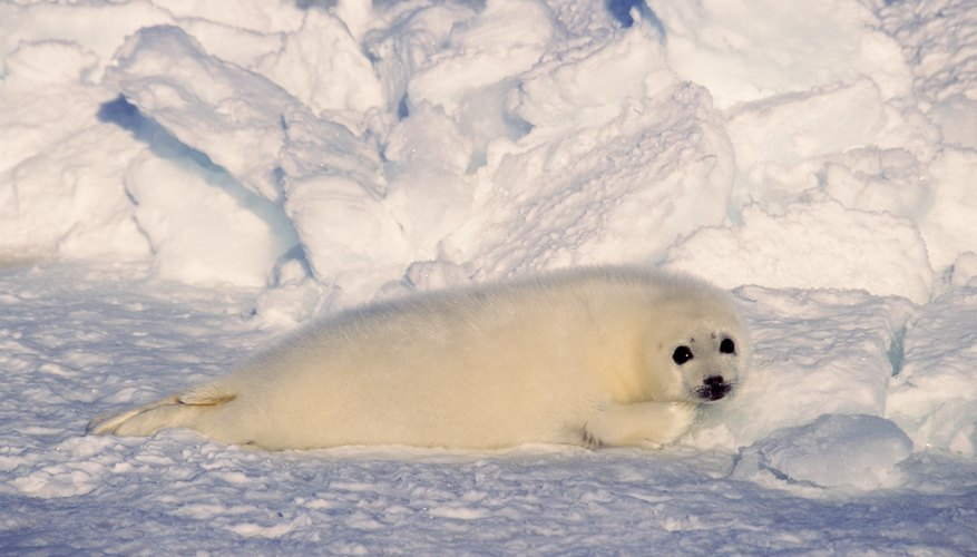 Harp seals live in the northern Atlantic and Arctic Oceans.