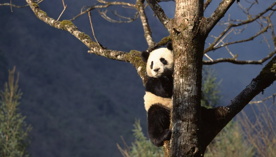 Only a few patches of forest still support wild pandas.