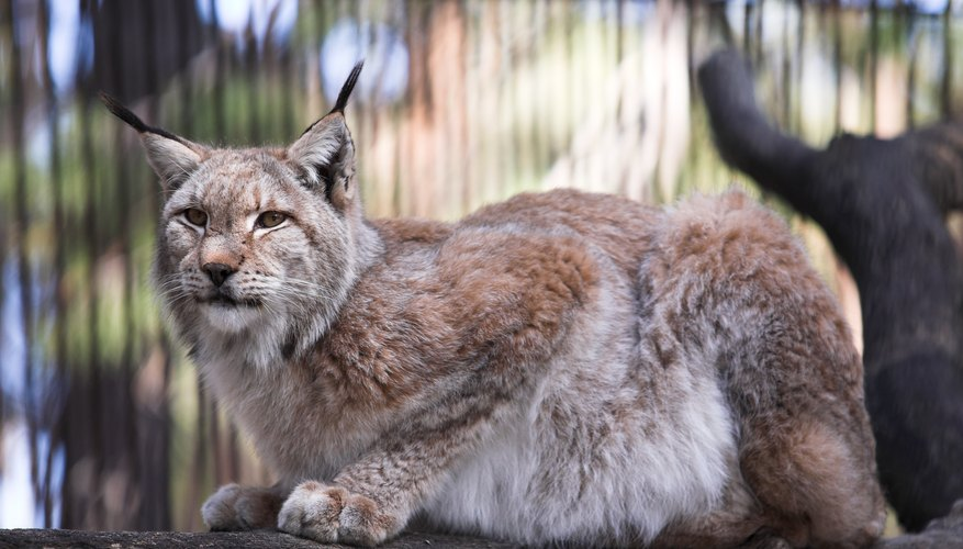 Most states allow bobcat ownership for zoological or conservation efforts.