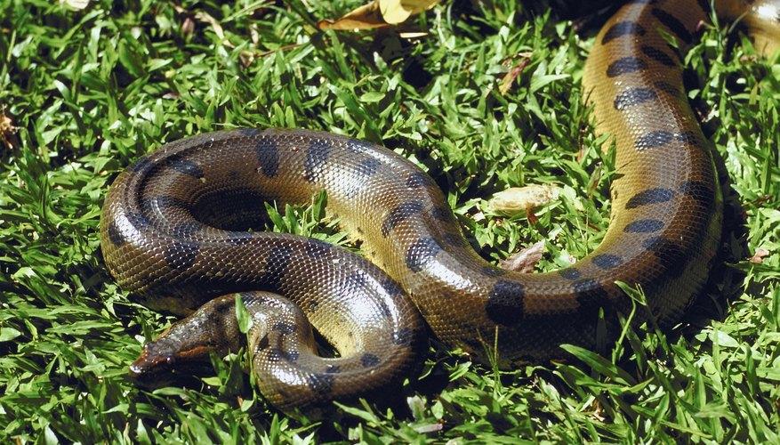 Anaconda verde.