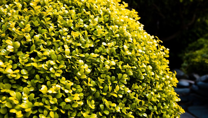 Yellow shrubs add landscape color.
