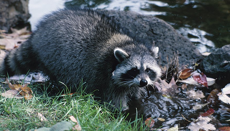 What Enemies Do Raccoons Have