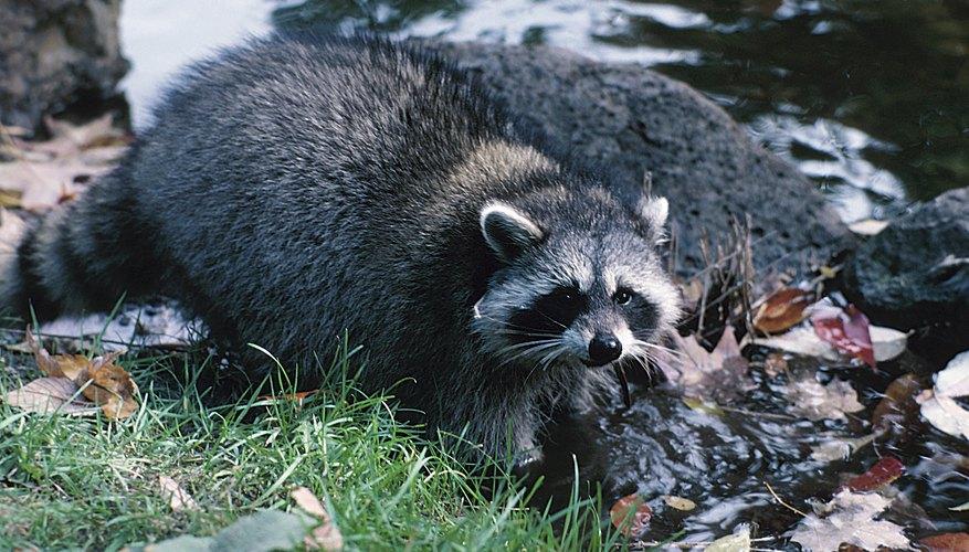 Raccoons have many enemies.