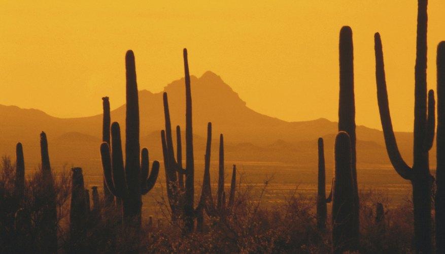 Los cactus son plantas típicas del desierto.