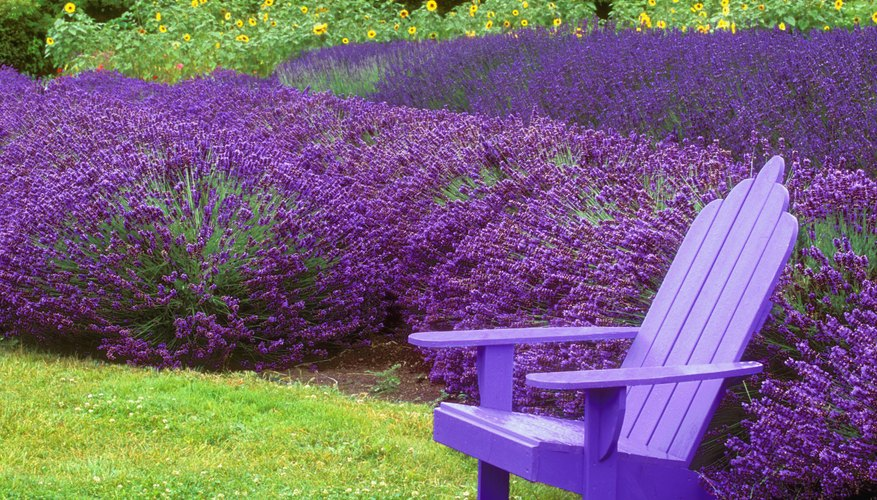 Purple chair in front of large lavender garden.