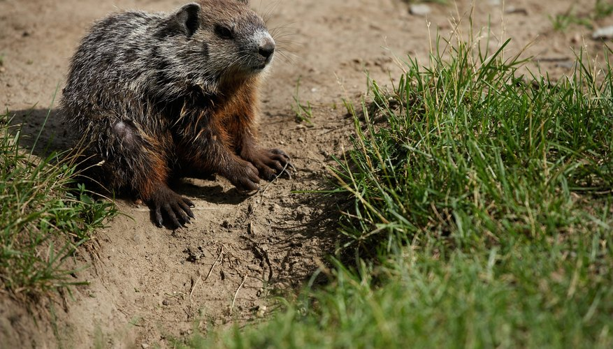 Be sure the groundhog is not at home if you block off an existing hole.