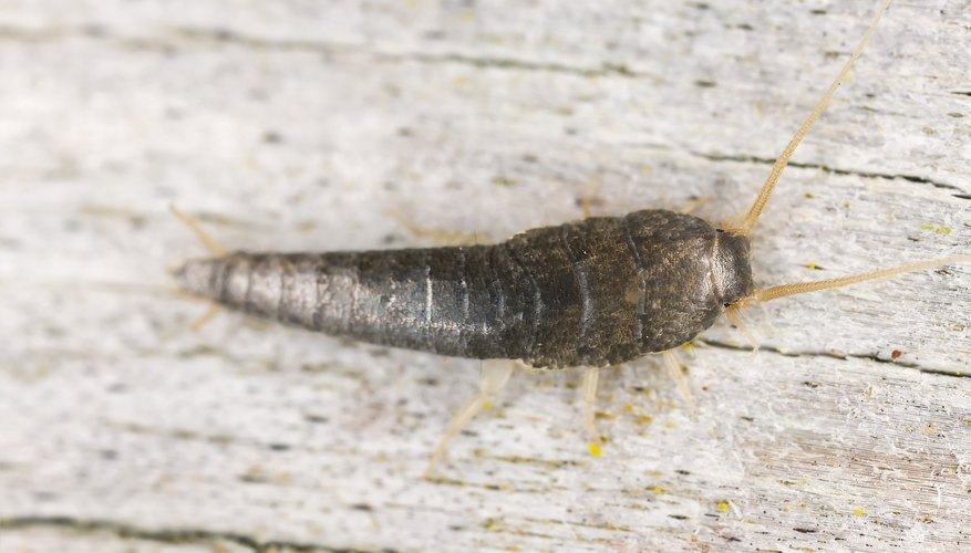 Silverfish grow up to 3/4 inch long.