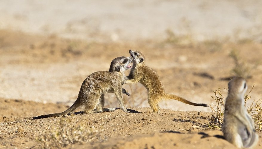 Some social species of mongoose will help care for and clean each other.