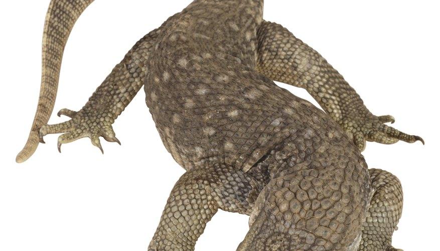 Los dragones de Komodo tienen el mayor requerimiento diario de todos los lagartos monitor.
