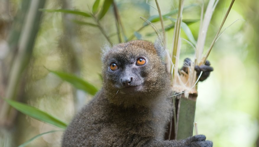 Madagascar has its own bamboo specialists: bamboo lemurs.