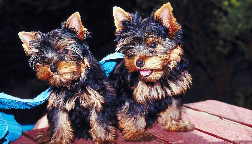 Teacup Yorkie puppies can fit into the palm of your hand.