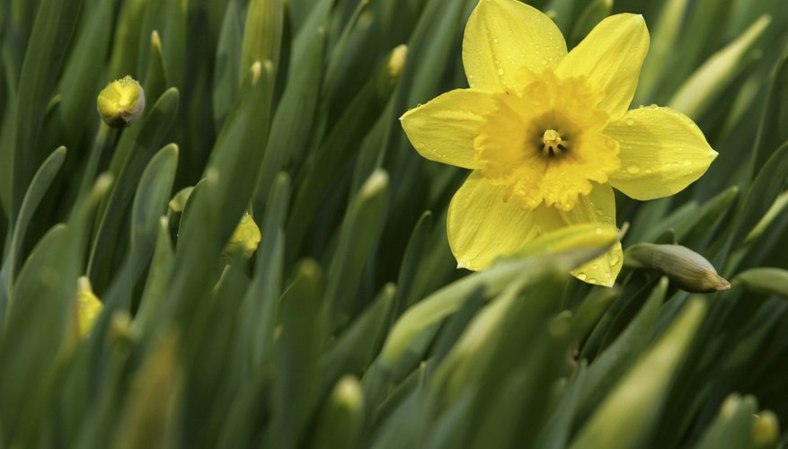 Sunny, petite jonquils are the most fragrant of all daffodils.