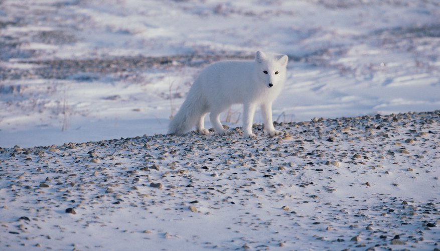 Plants & Animals That Live in the Tundra | Sciencing
