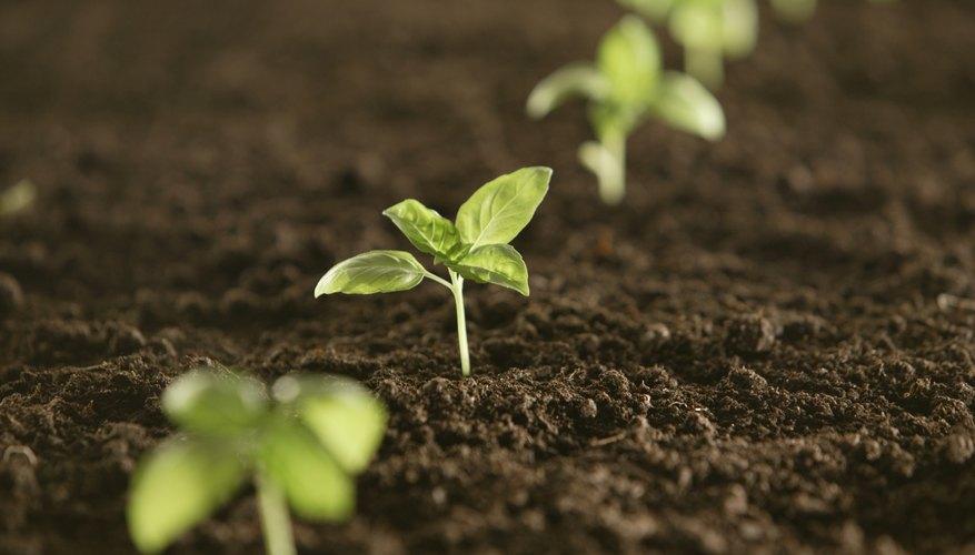 Los frijoles han sido parte de la agricultura estadounidense por 6000 años.