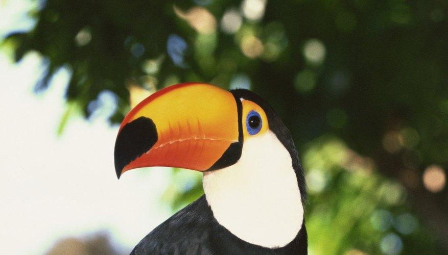 Los tucanes son aves frugívoras de la selva tropical americana, y son mejor conocidos por sus enormes picos de colores.