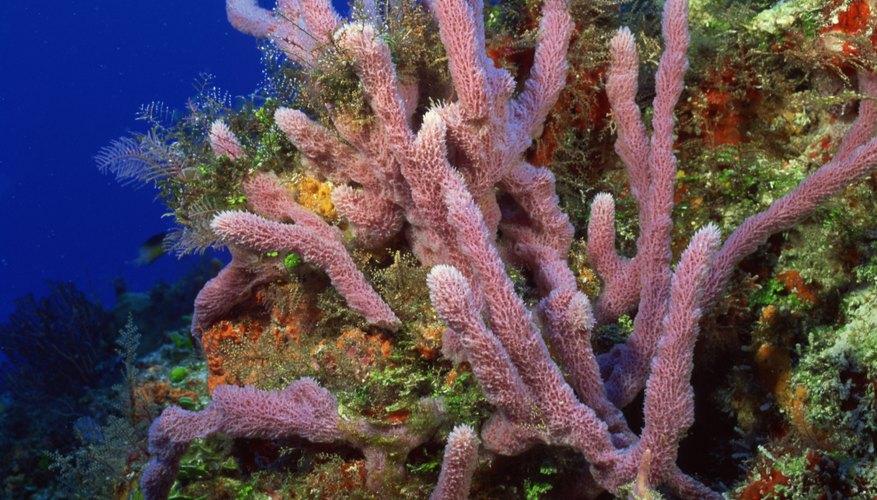 Los dedos de coral (briareum asbestinum) son una de las especies de coral que podrás observar en estas espléndidas aguas caribeñas.