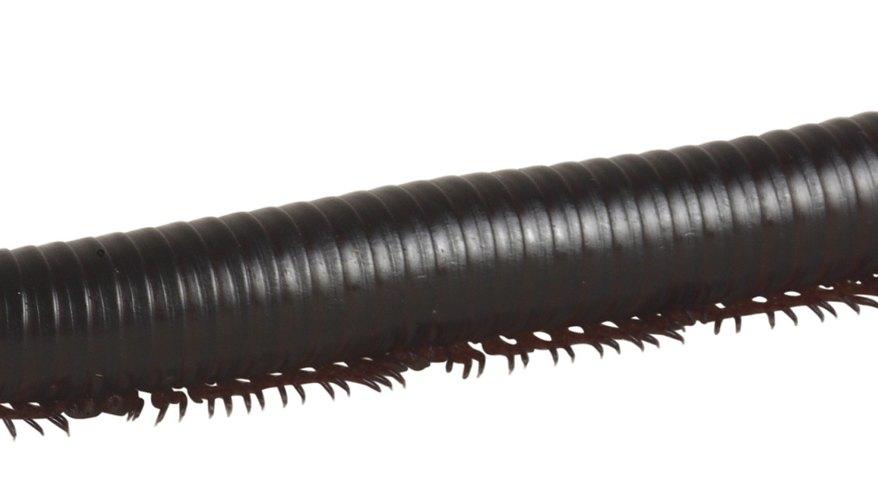 En algunas especies, el macho coloca el esperma en una red que ha hecho desde que la mujer obtiene el esperma.