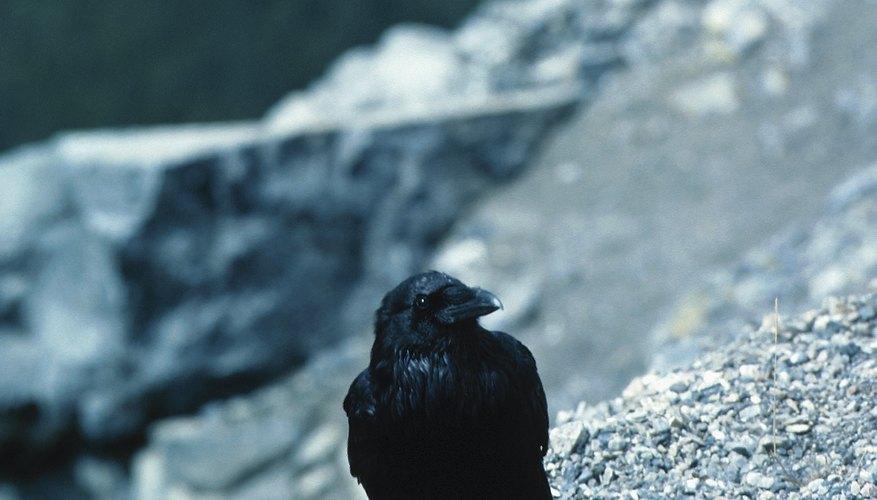 Una grajilla es un pájaro parecido a un cuervo.