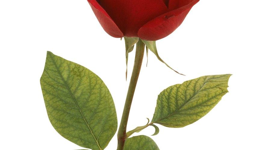 Emula la forma de la rosa envolviendo papel alrededor de sí mismo.