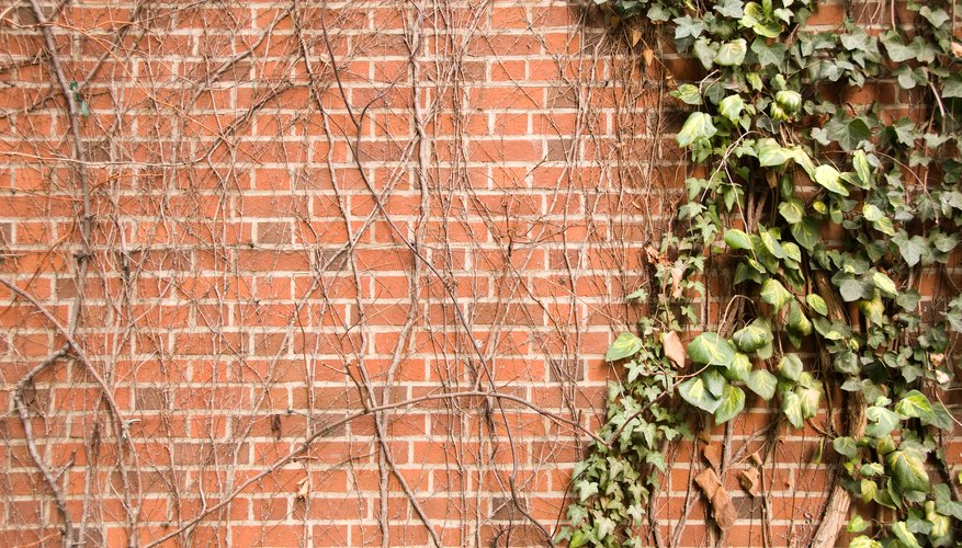 Dead ivy is unattractive on walls.