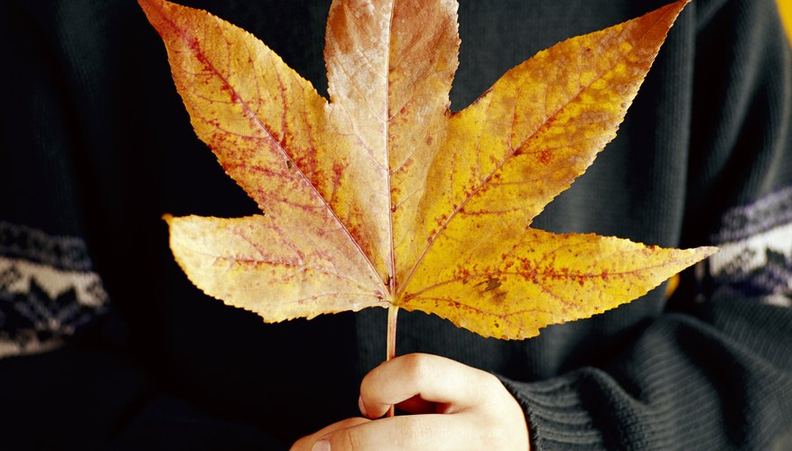 Fallen maple leaves make colorful nature crafts.