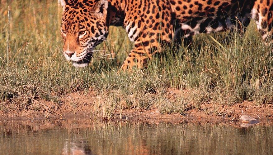 Un jaguar en la selva ecuatoriana.