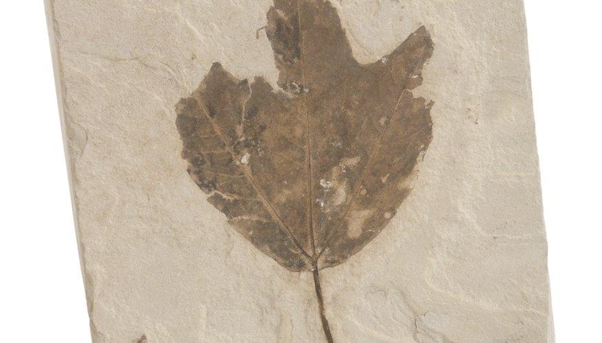 Los fósiles de plantas ayudan a entender un poco más el ambiente que se vivía en la tierra primitiva.