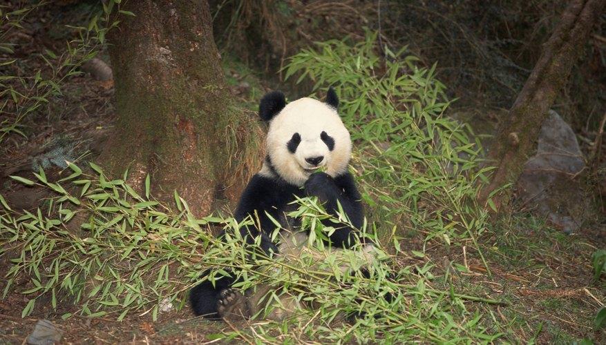 Los pandas gigantes son siempre regulares en sus dietas.