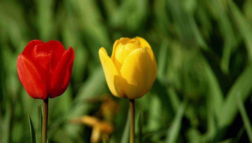Disfruta de los tulipanes todo el año.