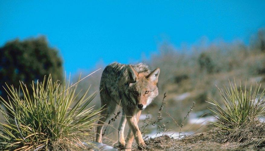 Un coyote en el desierto.