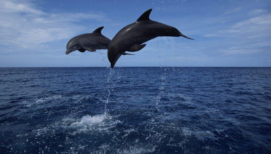 Los delfines han llamado nuestra atención por su naturaleza amistosa y juguetona.