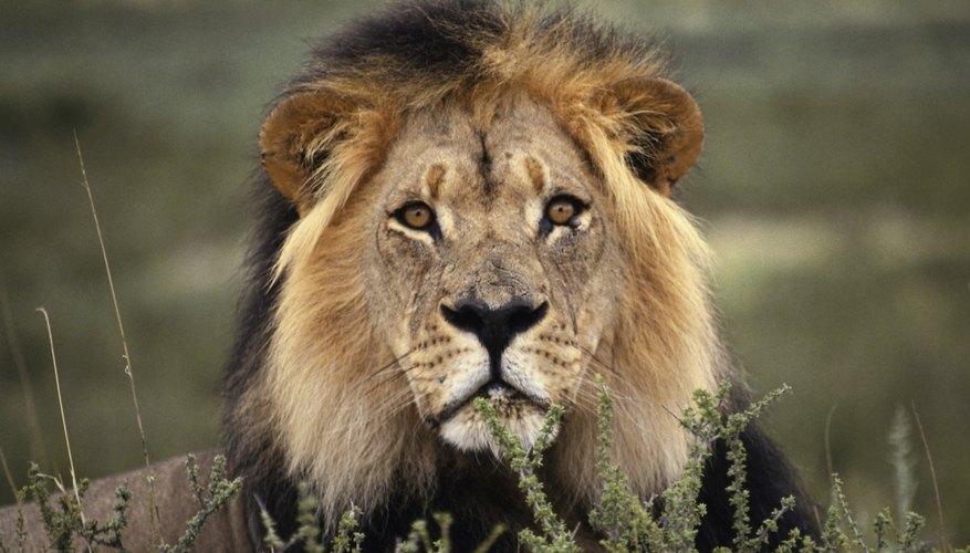 La invasión humana en las praderas ha hecho que sea difícil para los leones encontrar un hábitat adecuado.